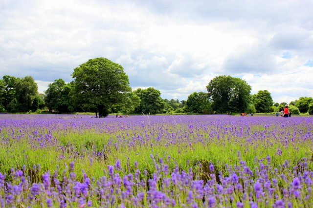 Mayfield Lavender Farm14