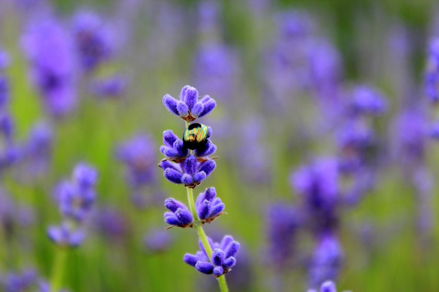 Mayfield Lavender Farm15